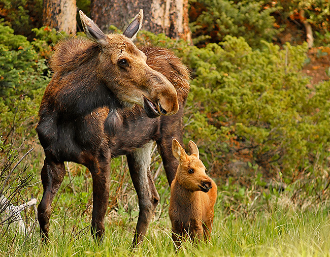 Yellow-Wood-Guiding-Moose-and-baby