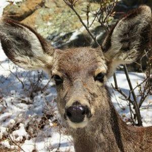 swiftcurrent-lodge-deer