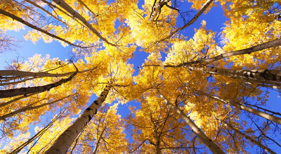 golden-aspen-from-below