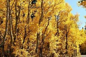 fall-gold-colorado