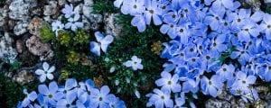 alpine-phlox-wildflowers