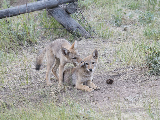 coyote-cubs