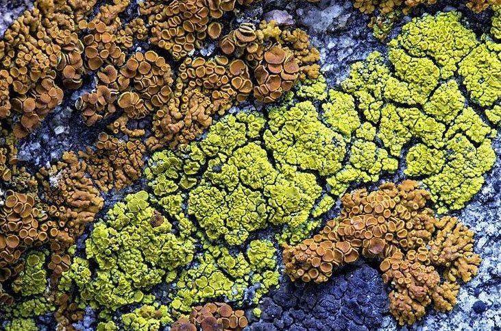 nature-notes-lichen-closeup